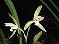四季銀邊馬尾 Cymbidium ensifolium 'Silver-Border Horse-Tail' -香港沙田國蘭展 Shatin Orchid Show, Hong Kong- (12186068924).jpg