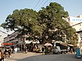 娄南街大榕树 - panoramio.jpg