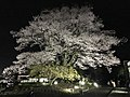 安富桜.jpg