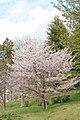 小さな公園の桜, A cherry in a small park - panoramio.jpg