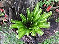 山蘇 Aaplenium nidus - panoramio.jpg