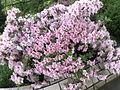 春花红似锦,一棵粉杜鹃.jpg