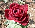 月季-黑夫人 Rosa Black Lady -深圳人民公園 Shenzhen Renmin Park, China- (42829993581).jpg