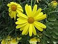 木茼蒿 Argyranthemum frutescens -克羅地亞薩格勒布 Zagreb Ban Jelačić Square, Croatia- (27707787905).jpg