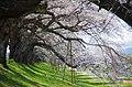 桜のトンネル Tunnel of Cherry Blossoms - panoramio.jpg