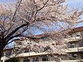 桜の小金井第四小学校.jpg