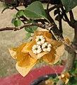 橙紅光葉葉子花 Bougainvillea glabra 'Salmonea' -深圳蓮花山公園 Shenzhen Lianhuashan Park, China- (11204952145).jpg