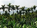 檳榔樹 Betel Nut Palms - panoramio.jpg