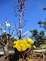 清澄庭園の福寿草(2012.2.11) - panoramio.jpg