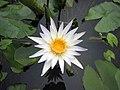 睡蓮 Nymphaea Daubenyana -深圳洪湖公園 Shenzhen Honghu Park, China- (9200881472).jpg