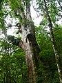 紅檜 Chamaecyparis formosensis - panoramio.jpg