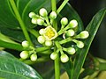 肉桂 Cinnamomum aromaticum -香港動植物公園 Hong Kong Botanical Garden- (9222669444).jpg