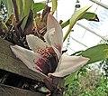 腋唇蘭屬 Maxillaria sanderiana -比利時國家植物園 Belgium National Botanic Garden- (9229786666).jpg