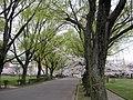 荒池公園のシダレヤナギ - panoramio.jpg