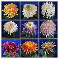 菊花 Chrysanthemum morifolium Cultivars 10 -上海松江方塔園 Song Jiang, Shanghai- (12116177966).jpg