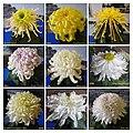 菊花 Chrysanthemum morifolium Cultivars 5 -上海松江方塔園 Song Jiang, Shanghai- (12049599033).jpg
