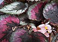 蛤蟆秋海棠-雄花 Begonia rex 'Red Tango' -香港公園 Hong Kong Park- (37422677575).jpg