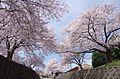 食とみどり技術センターの桜 2014.4.02 - panoramio (1).jpg
