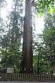 高千穂神社の大杉 - panoramio.jpg