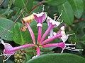 -2019-08-21 Honeysuckle flowers (Lonicera periclymenum), Trimingham.JPG
