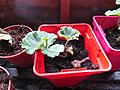 -2019-11-12 Geranium cuttings, Trimingham (2).JPG