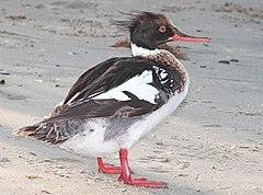 063 - RED-BREASTED MERGANSER (4-20-12) south padre island, tx (8717956869).jpg