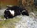 0837 le mouton de Malam.jpg
