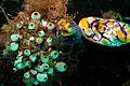 09-EastTimor-Dive Praia-Cristo-Rei 20 (Eye Coral)-APiazza.JPG