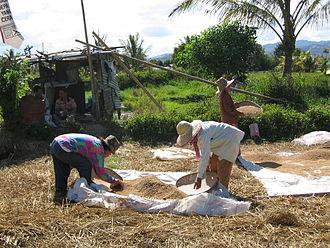 Tambunan - Workers in a paddy field in Kampung Tinompok (Tinompok Village).