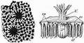 1911 Britannica-Anthozoa-Heliopora coerulea.png