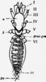 1911 Britannica-Arachnida-Schizomus crassicaudatus2.png