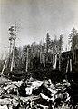 1932. Aphis abietina, Walk., damage to Sitka spruce. Mora, Washington. (38011762624).jpg
