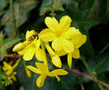 2006-12-01Jasminum nudiflorum13.jpg