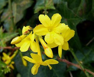 Winter-Jasmin (Jasminum nudiflorum)