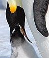 2007 Snow-Hill-Island Luyten-De-Hauwere-Emperor-Penguin-28.jpg