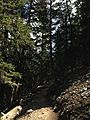 2014-09-15 11 06 20 View up the Bristlecone Trail and the Glacier Trail through Engelmann Spruce forest in Great Basin National Park, Nevada.JPG