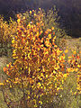 2014-10-05 14 45 31 Aspens showing autumn foliage coloration in Lamoille Canyon, Nevada.JPG