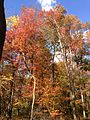 2014-10-30 13 18 25 Trees during autumn in the woodlands along the West Branch Shabakunk Creek in Ewing, New Jersey.JPG