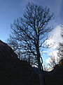 2014-11-11 15 51 07 Bare Aspen along the Changing Canyon Trail in Lamoille Canyon, Nevada.JPG