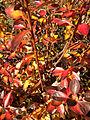 2014-12-26 11 23 16 Foliage of Azalea cultivar 'Rosebud' during early winter along Terrace Boulevard in Ewing, New Jersey.JPG