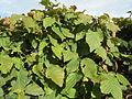 20140918Carpinus betulus Hecke.jpg