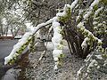 2015-04-08 07 34 23 A wet spring snow on Siberian Elm immature seeds along South 7th Street in Elko, Nevada.jpg