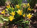 2015-04-12 11 15 12 Mini daffodils blooming on Terrace Boulevard in Ewing, New Jersey.jpg