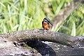 20150920 058 Kessel Weerdbeemden IJsvogel (21379336850).jpg