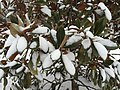 2016-02-15 09 08 11 Southern Magnolia foliage covered in snow along Indale Court in the Franklin Farm section of Oak Hill, Fairfax County, Virginia.jpg