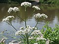 20160620Valeriana officinalis1.jpg