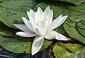 2016 Kwiat grzybieni białych 1.jpg