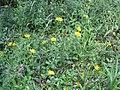 2017-07-28 (121) Asteraceae (aster) at Haltgraben in Frankenfels, Austria.jpg