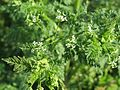 20170505Anthriscus sylvestris3.jpg