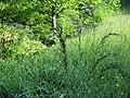 2018-05-13 (138) Poales (grass) at Bichlhäusl in Frankenfels, Austria.jpg